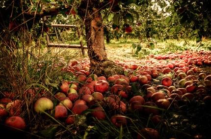 Apple-Orchard-autumn-35580383-500-332